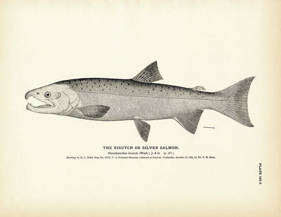 Kisutch (Silver Salmon)