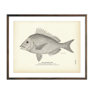 Vintage Southern Scup fish print