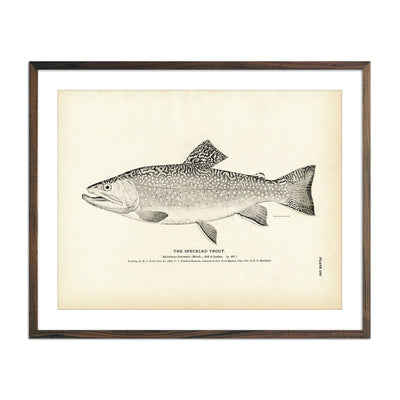 Vintage Speckled Trout fish print