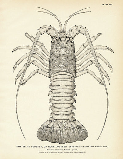 Spiny Lobster (Rock Lobster)