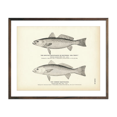 Vintage Spotted and Common Squeteague fish print