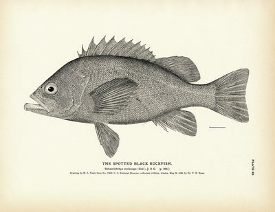 Spotted Black Rockfish