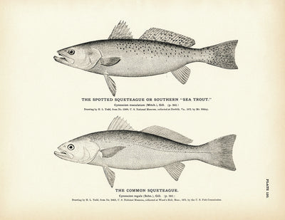 Spotted Squeteague (Southern Sea Trout) and Common Squeteague