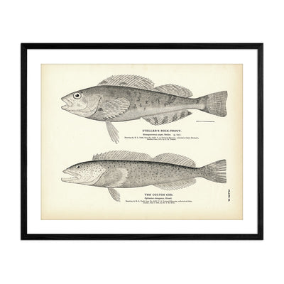Steller's Rock-Trout and Cultus Cod