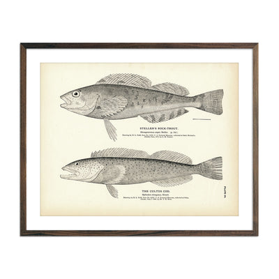 Vintage Steller's Rock-Trout and Cultus Cod fish print