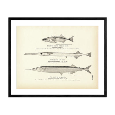 Two-Spined Stickle-Back, Silver Gar-Fish, and Skipper (Saury)