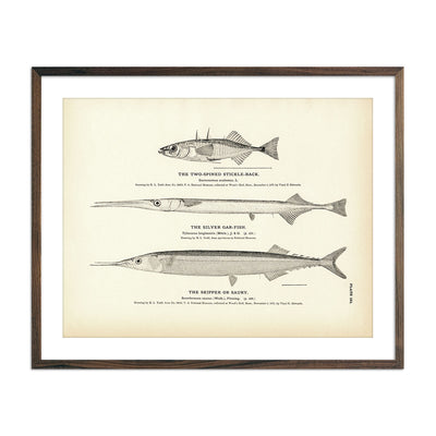 Vintage Two-Spined Stickle-Back, Silver Gar-Fish and Skipper fish print