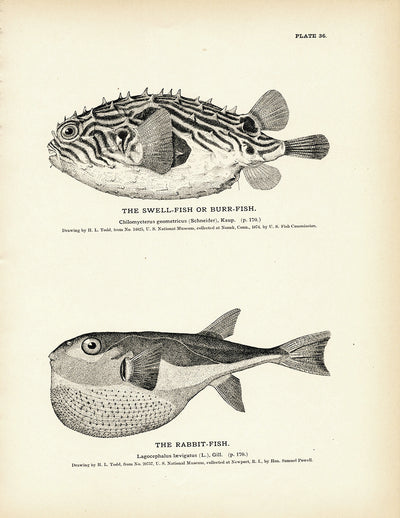 Swell-Fish (Burr-Fish) and Rabbit-Fish