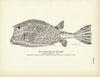 Trunk-Fish (Cow-Fish)
