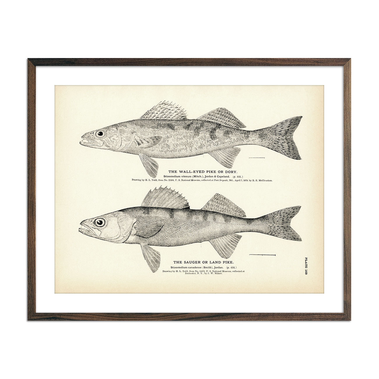 Vintage Wall-Eyed Pike and Sauger fish print