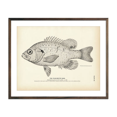 Vintage War-Mouth Bass fish print