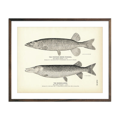 Vintage Western Brook Pickerel and Muskellunge fish print