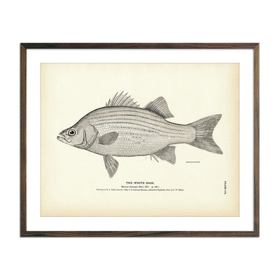 Vintage White Bass fish print