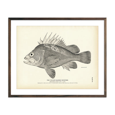 Vintage Yellow-Backed Rockfish print
