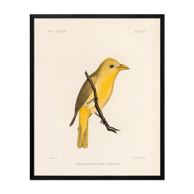 Tanager-Female