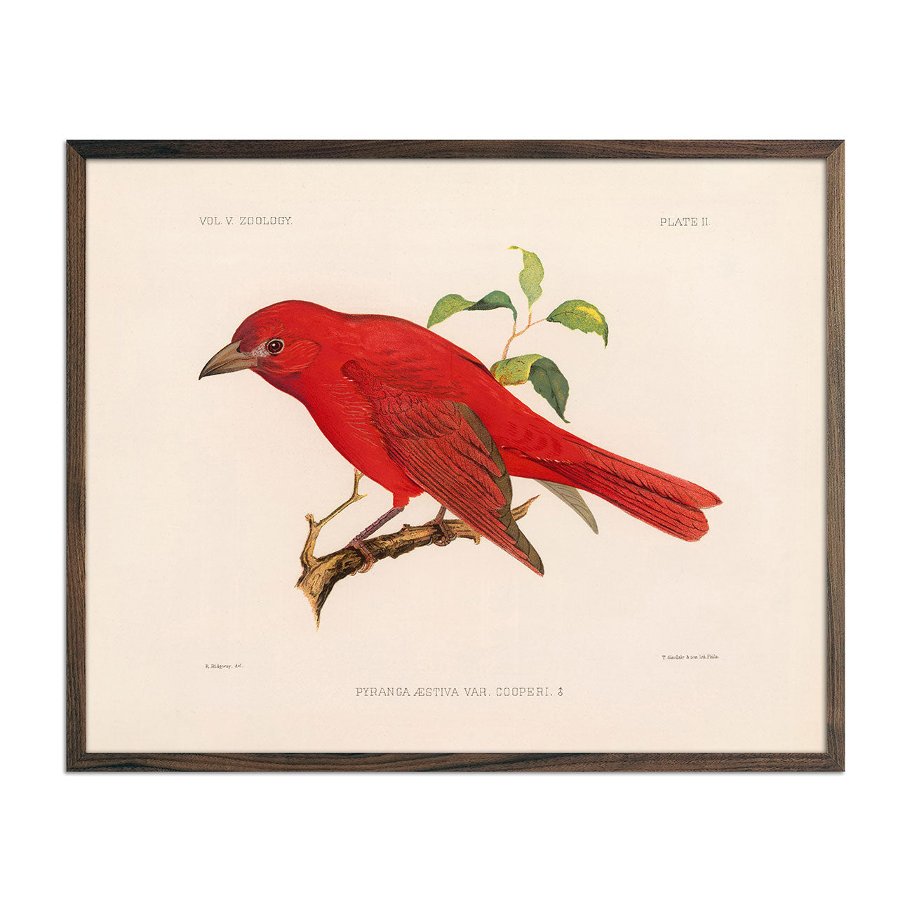 Tanager-Male