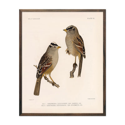 White Crowned-Sparrow