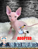 Sphynx Kitten Cream Green Eye Male - Shuichi - KingTutsNakedButts