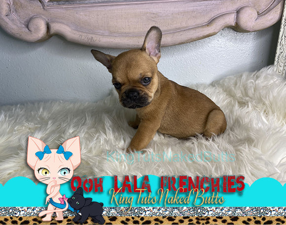 French Bulldog Puppy Male - Red - KingTutsNakedButts