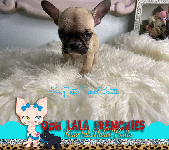 French Bulldog Puppy Female - Lolly - KingTutsNakedButts
