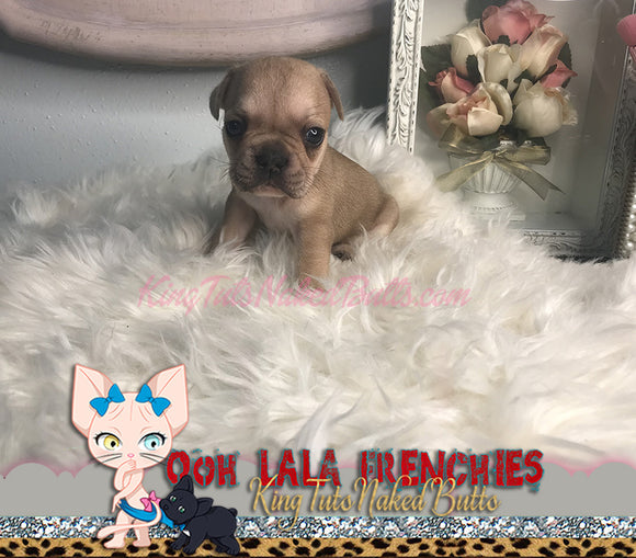 French Bulldog Puppy FeMale -Lulu - KingTutsNakedButts