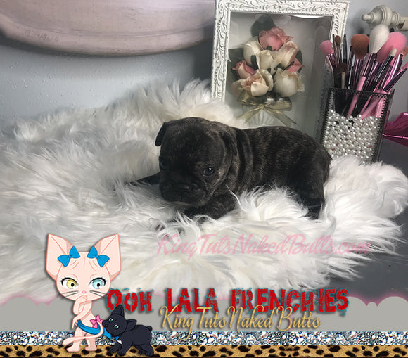 French Bulldog Puppy FeMale -Pepper - KingTutsNakedButts