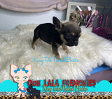 French Bulldog Puppy Female - Remi - KingTutsNakedButts