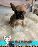 French Bulldog Puppy Male - Gizmo - KingTutsNakedButts