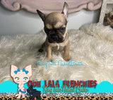 French Bulldog Puppy Male - Ziggy - KingTutsNakedButts