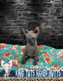 Sphynx Kitten Black FeMale - Mandy - KingTutsNakedButts