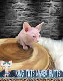 Sphynx Kitten Cream Blue Eye FeMale - Kaito - KingTutsNakedButts