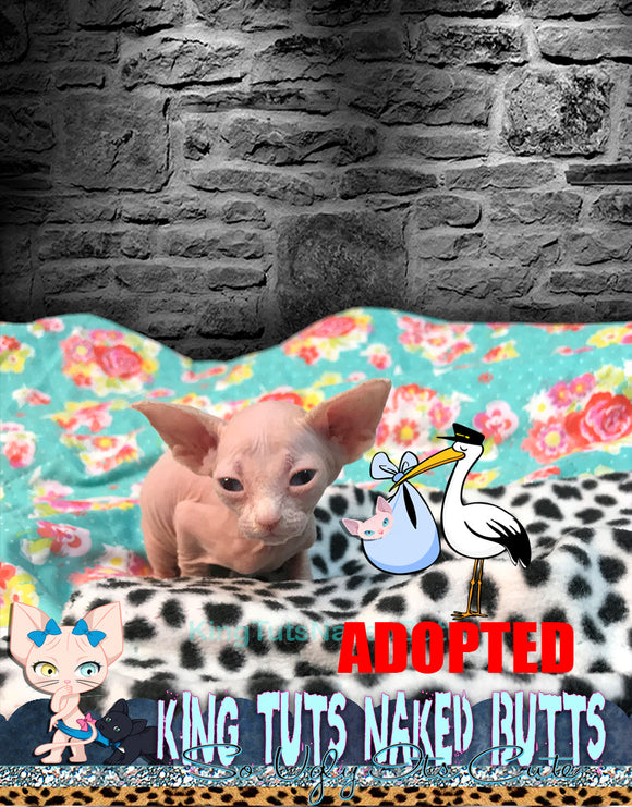 Sphynx Kitten Cream FeMale - Grace - KingTutsNakedButts