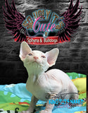 Sphynx Cat Kitten cream male - Riley - KingTutsNakedButts