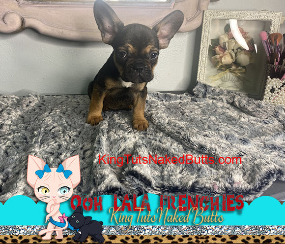 Non Refundable Deposit French Bulldog Puppy male - Tito - KingTutsNakedButts