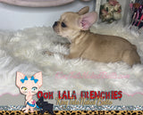 French Bulldog Puppy FeMale - Nala - KingTutsNakedButts