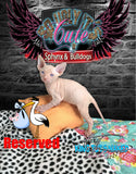 Sphynx Cat Kitten Female - Bailey - KingTutsNakedButts