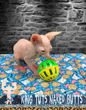 Sphynx Kitten Odd Eye cream Male -Brayden - KingTutsNakedButts