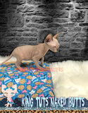 Sphynx Kitten Male Cosmo - KingTutsNakedButts