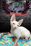Sphynx Cat Kitten cream Female - Kandee - KingTutsNakedButts