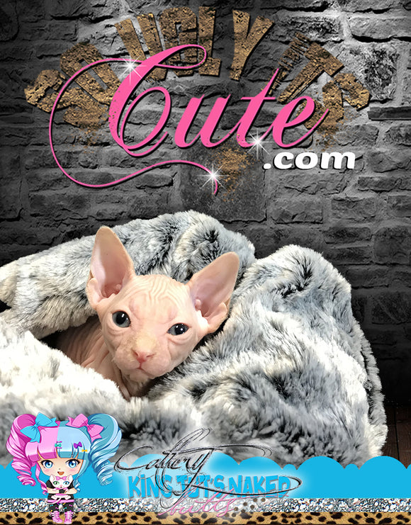 Sphynx Cat Kitten cream male - Karter - KingTutsNakedButts