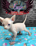 Sphynx Cat Kitten cream male - Pierce - KingTutsNakedButts