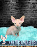 Sphynx Kitten Red Male - Kai - KingTutsNakedButts