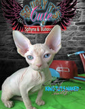Sphynx Cat Kitten odd eye male - Tobey - KingTutsNakedButts