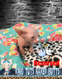 Sphynx Kitten Cream FeMale - Kinsley - KingTutsNakedButts