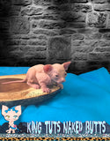 Sphynx Kitten Male - Yuu  - KingTutsNakedButts