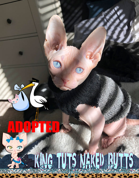 Sphynx Kitten Blue Eye FeMale -Skye - KingTutsNakedButts