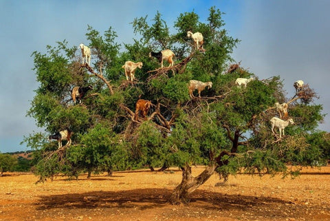 argan trees goats