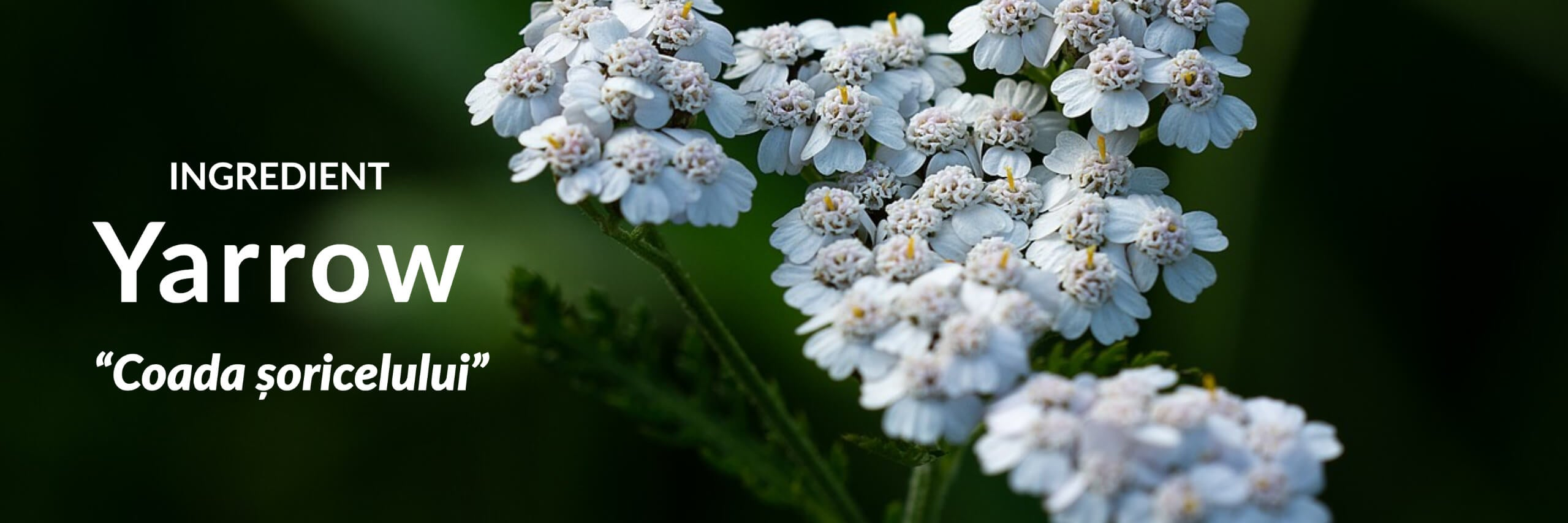 Yarrow Collection