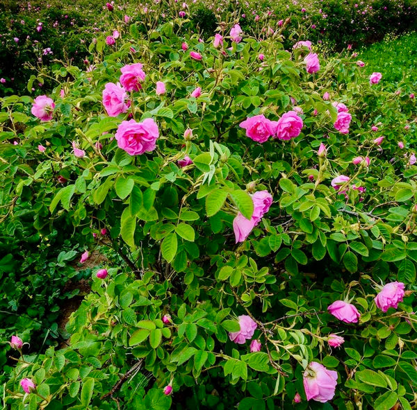 Organic damask rose bush - De Mana