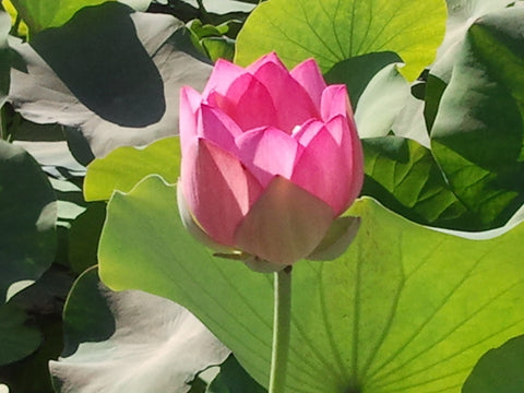 'Asian Sacred' Lotus - Single Light Pink to Cream (Bare Root Tuber) - Min Qty. 2 Per Variety